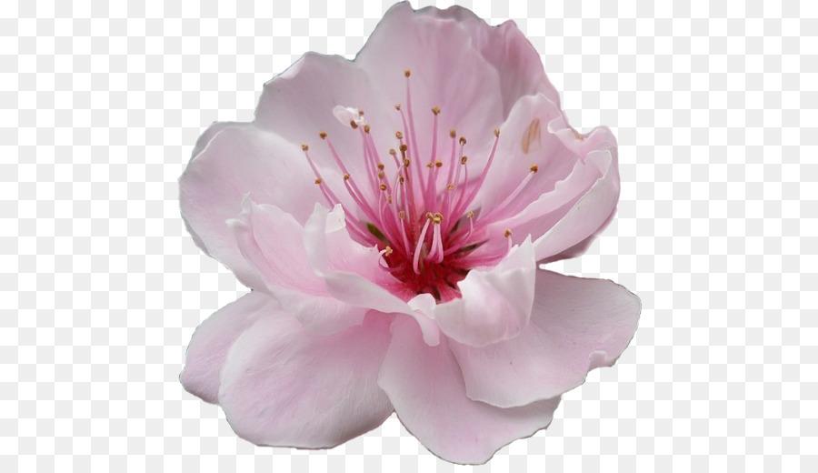 subaru cherry blossom festival of greater philadelphia flower