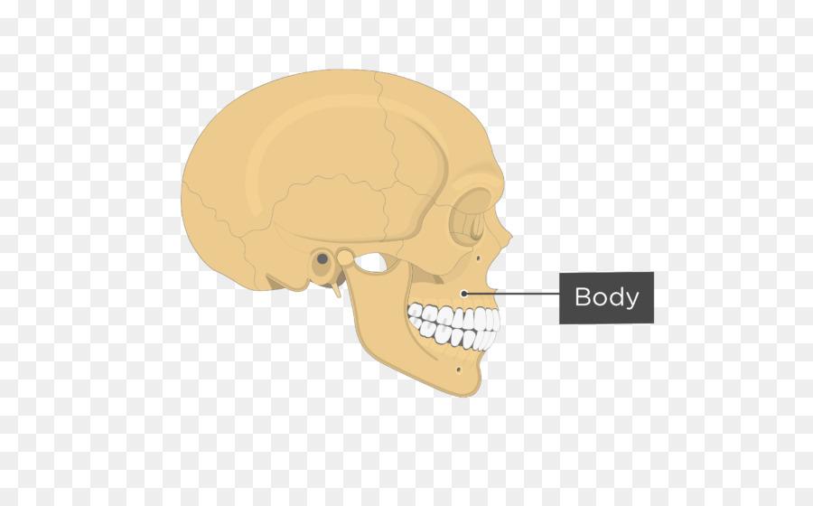 Jaw Zygomatic Bone Anatomy Maxilla Human Body Infraorbital Foramen