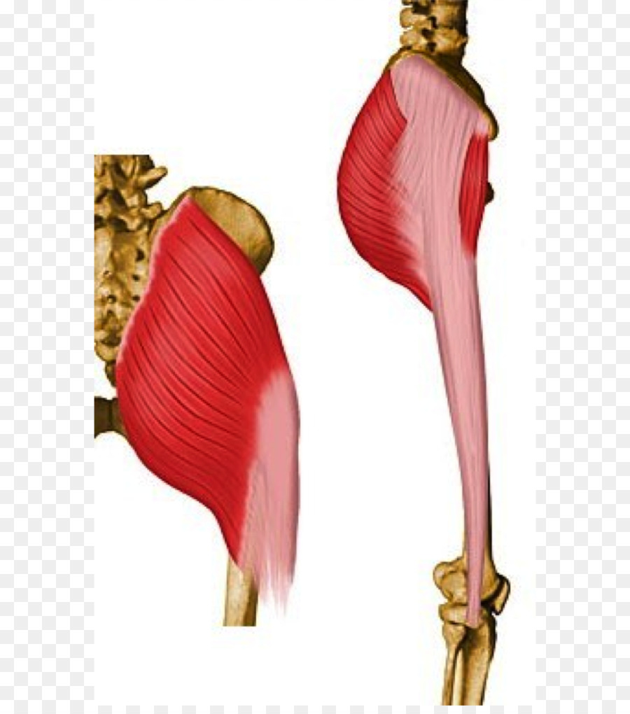 Gluteus maximus Gluteal muscles Gluteus medius Pelvis - others png ...