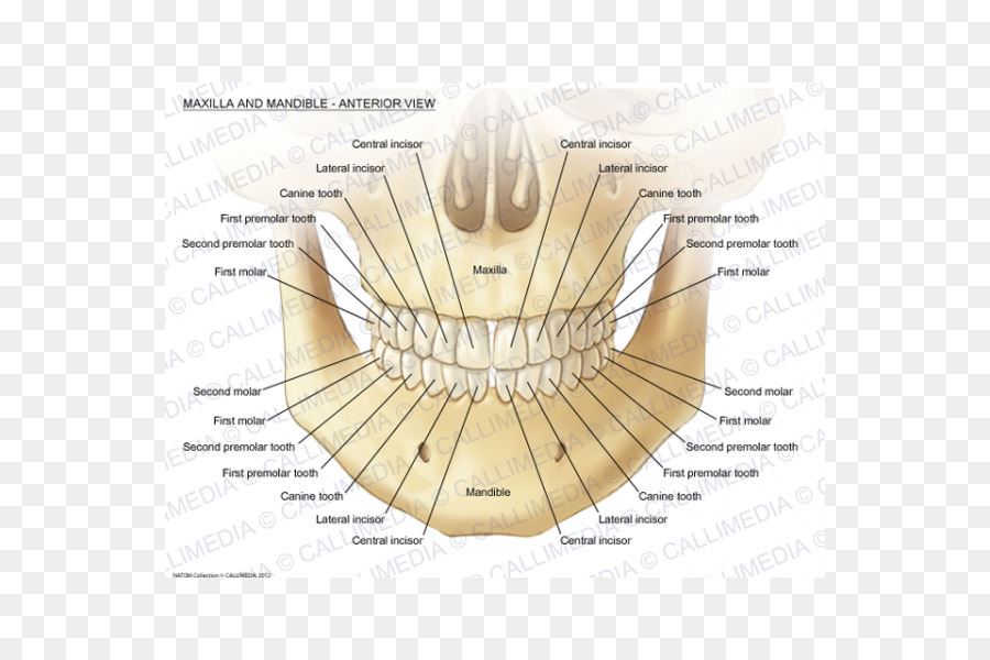 Maxilla Mandible Human anatomy Mandibular nerve - first tooth png ...