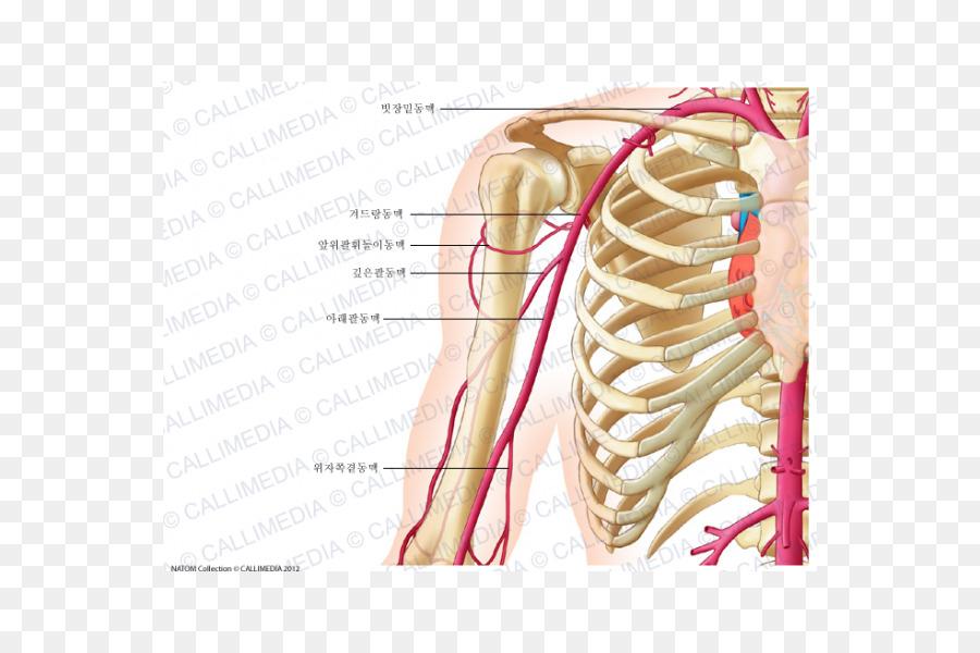 Anterior del húmero circunfleja de la arteria Anatomía plano Coronal ...