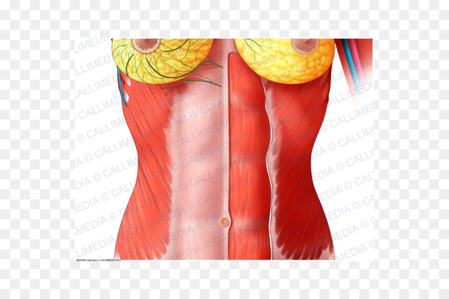 Musculo recto anterior del Abdomen Humano, anatomía Toraco-abdominal ...