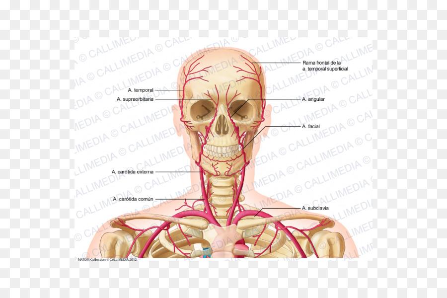 Supratrochlear de la arteria de la Vena en el Cuello del cuerpo ...