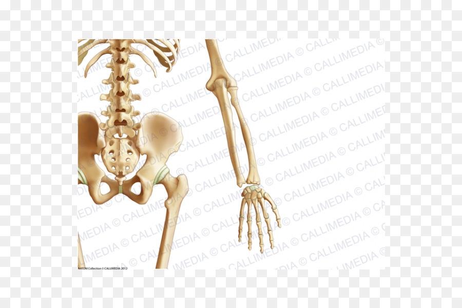 La Pelvis de la Anatomía del Codo de la extremidad Superior - codo ...