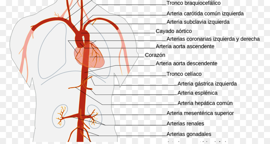 The Aorta Artery Anatomy Abdominal aorta - heart png download - 1200 ...