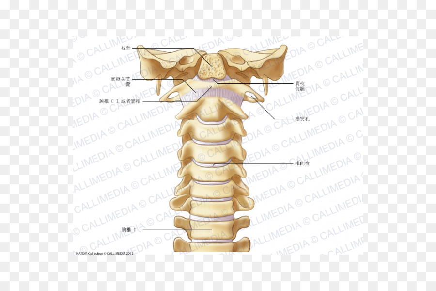 Cervical vertebrae Vertebral column Atlas Anatomy Ligament ...