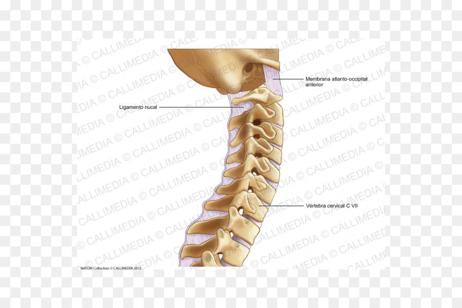 Cervical vertebrae cervical osteoarthritis Vertebral column Atlas ...