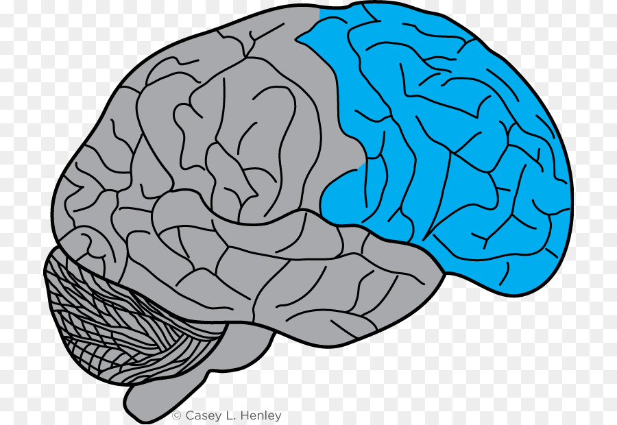 Lobes of the brain Frontal lobe Prefrontal cortex Motor cortex ...