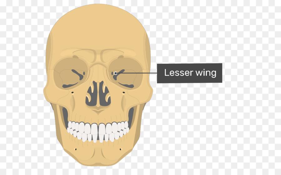 Vomer Lacrimal Bone Ethmoid Bone Nasal Concha Bone Wings Png
