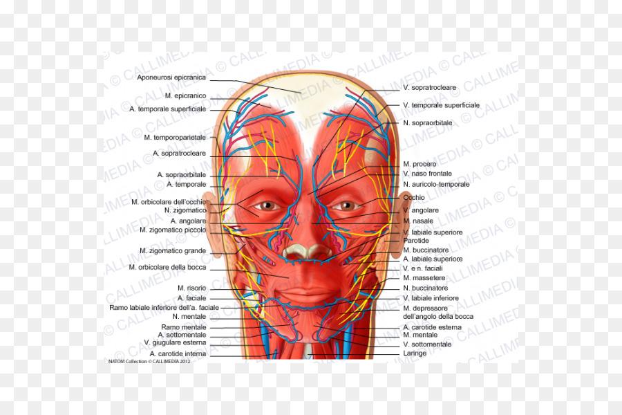 Facial nerve Facial artery Supratrochlear artery Human body - venas ...