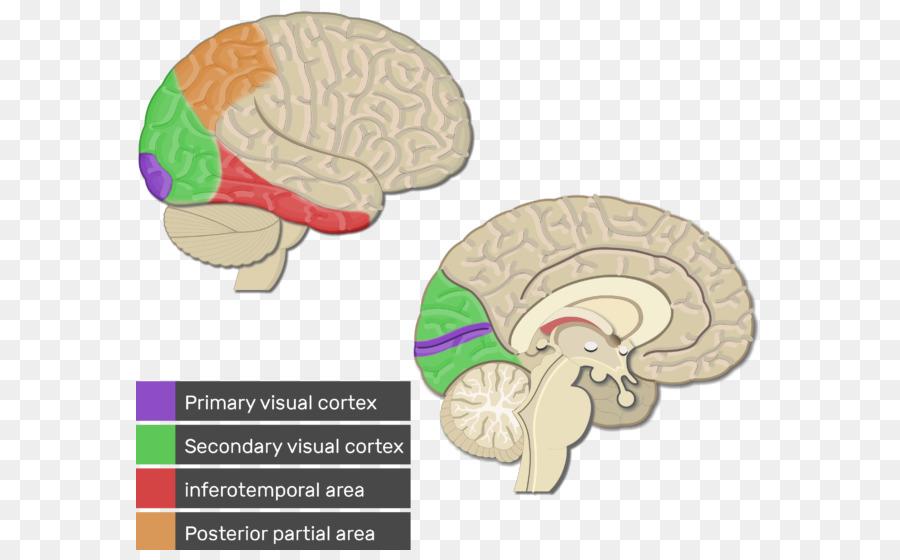 Visuellen cortex, Cerebral cortex Primärer Motorischer cortex ...