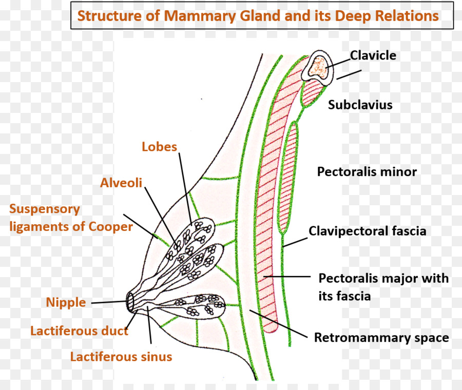 Mammary gland Cavernous sinus Head and neck anatomy - others png ...