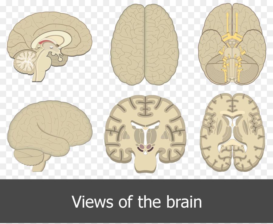 Human brain Human anatomy Cerebral cortex - Brain png download ...