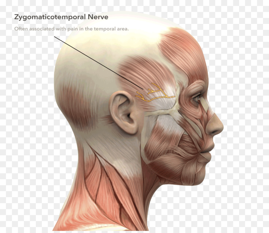 Stock photography Human anatomy Head and neck anatomy Human head ...
