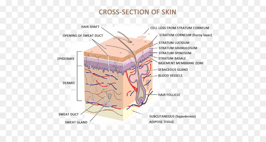 Human Skin Anatomy The Skin And Common Disorders Human Body Cross