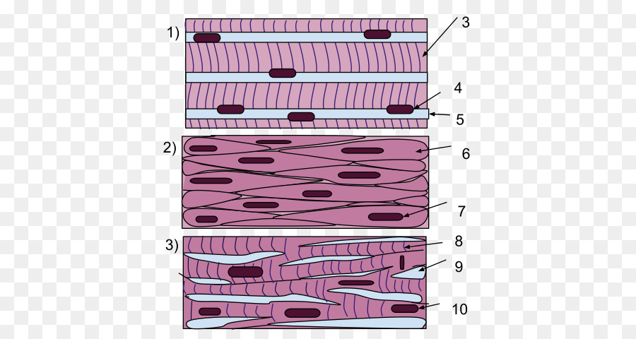 Smooth Muscle Tissue Skeletal Muscle Cardiac Muscle Muscle Tissue