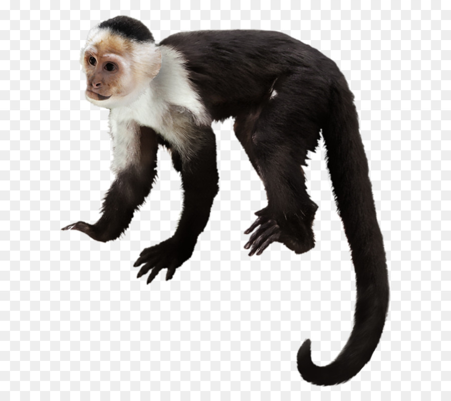 Monkey Cartoon png download - 718*800 - Free Transparent