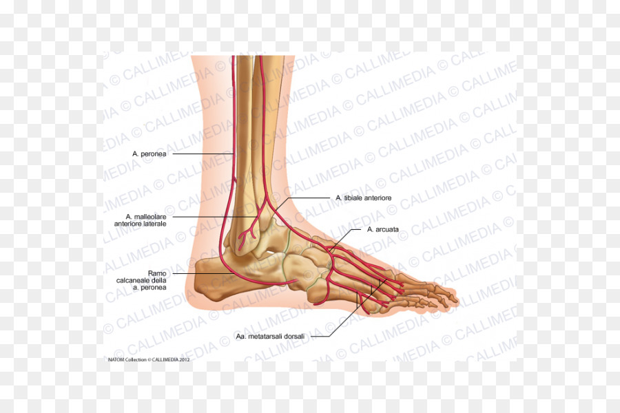 Thumb Foot Dorsalis pedis artery Anterior tibial artery - uomo png ...