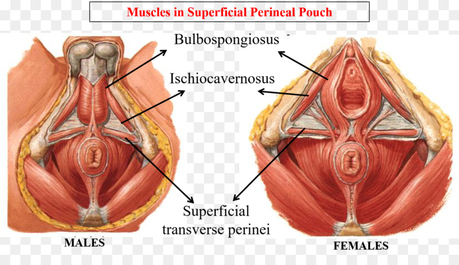 Perineum Anatomy Human Body Male Reproductive System Pelvis Muscle