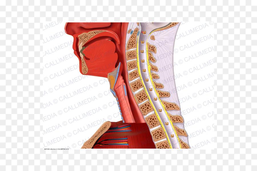 Hombro de los Nervios de los vasos Sanguíneos del Cuello Anatomía ...