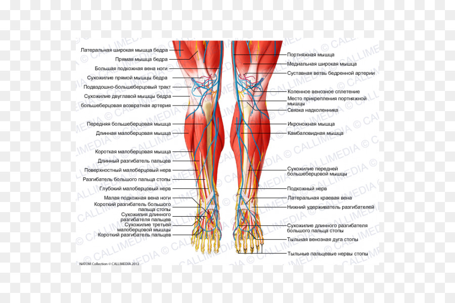 Muscular system Crus Muscle Human anatomy - Anatomy Muscle png ...