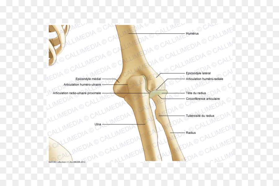 Thumb Elbow Bone Joint Anatomy Abdomen Anatomy Png Download 600