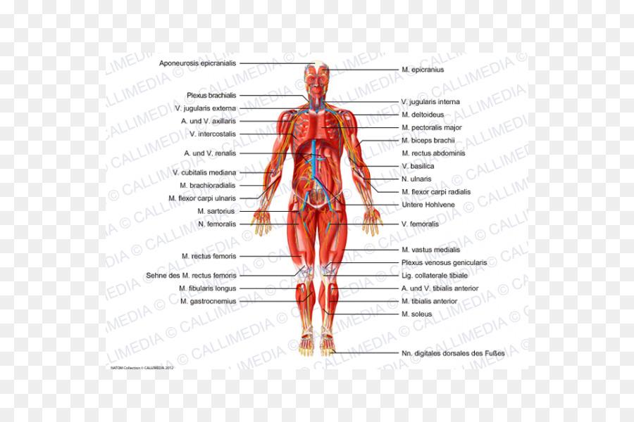 Cuerpo humano anatomía Muscular del Nervio - v jugularis externa ...