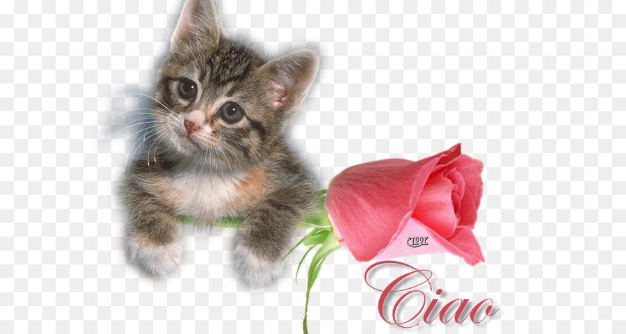 Pisiciğim Yerli Kısa Tüylü Kedi Ragdoll Kedi Felix Aşk Gif Png