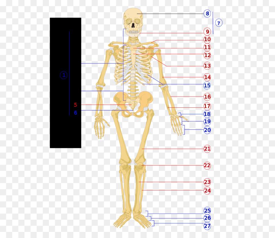 Esqueleto humano cuerpo Humano Diagrama de Fisiología - Los huesos ...