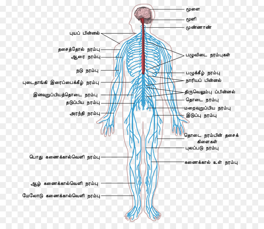 Peripheral Nervous System Central Nervous System Human Body Outline
