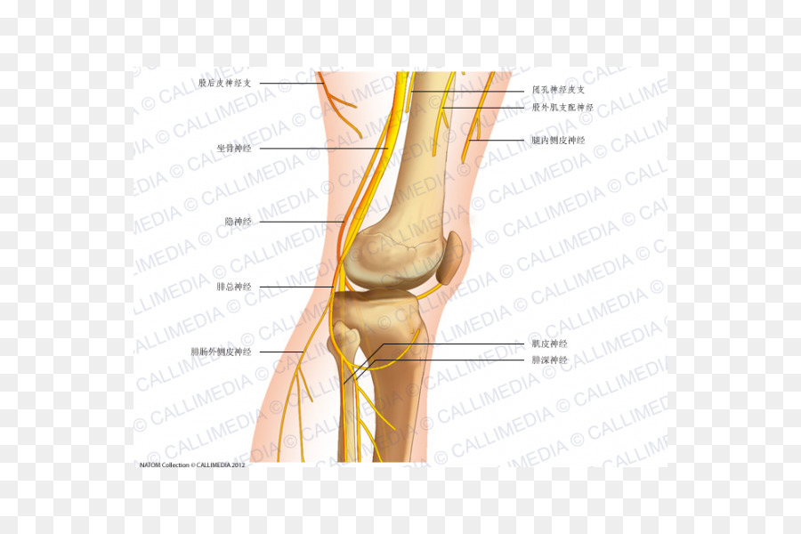 Common peroneal nerve Knee Human anatomy - reproductor png download ...