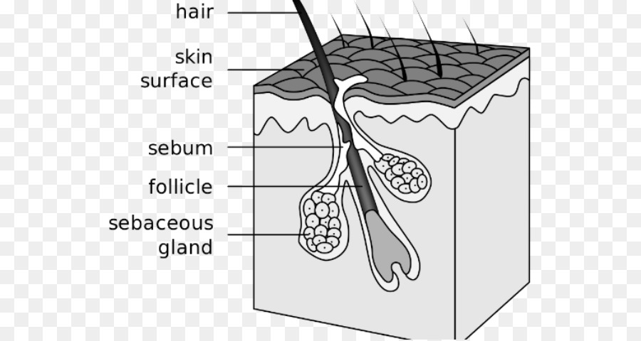 Hair Follicle Sebaceous Gland Acne Canities Integumentary System