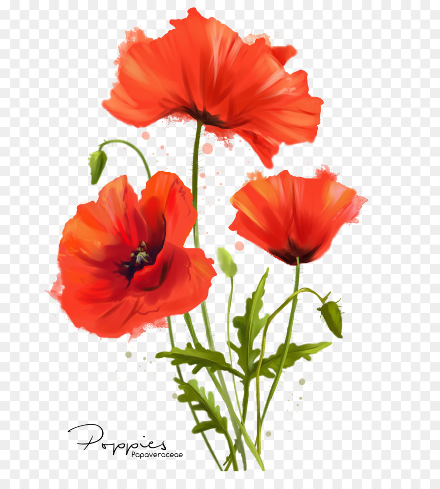 Common poppy flower watercolor painting poppies drawing png common poppy flower watercolor painting poppies drawing mightylinksfo