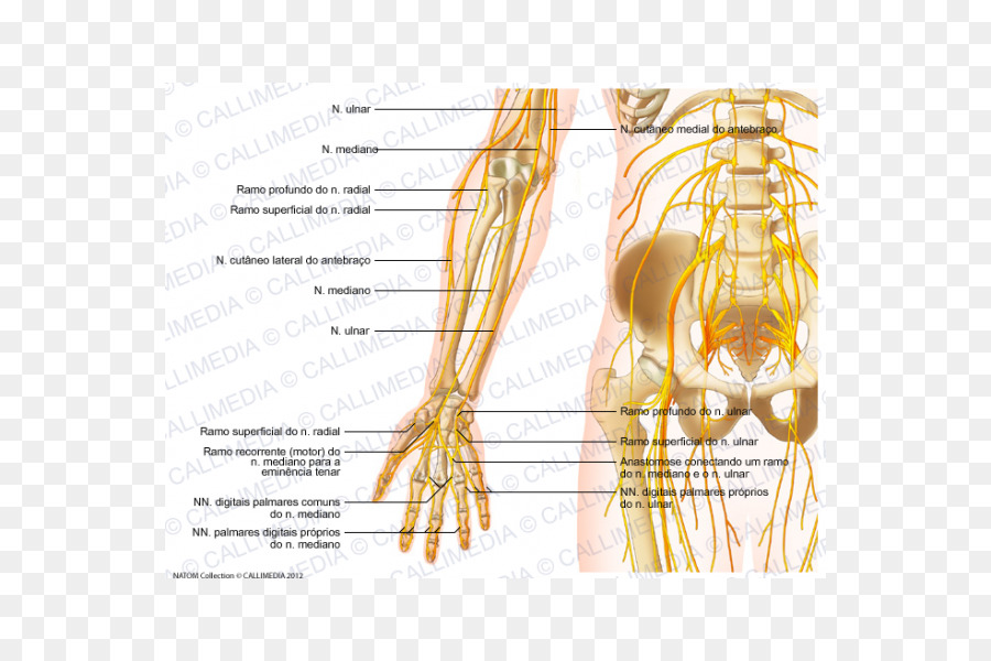 Forearm Nerve Human Anatomy Elbow Hand Png Download 600600