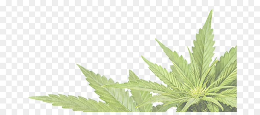 Lintoxication De Substance Fumer Du Cannabis A LAlcool Intoxication Cannabidiol