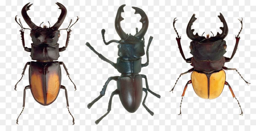 Escarabajo de Artrópodos Insectos ala - escarabajo png dibujo ...