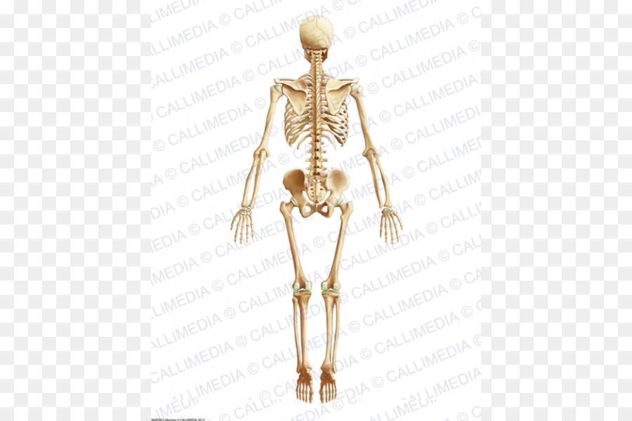 El Homo sapiens Músculo de la Cadera Anatomía del cuerpo Humano ...