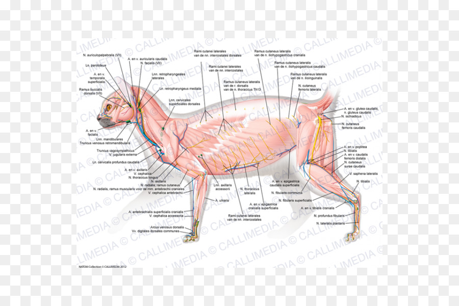 Muscle Cat Human body Carnivora Muscular system - Cat png download ...