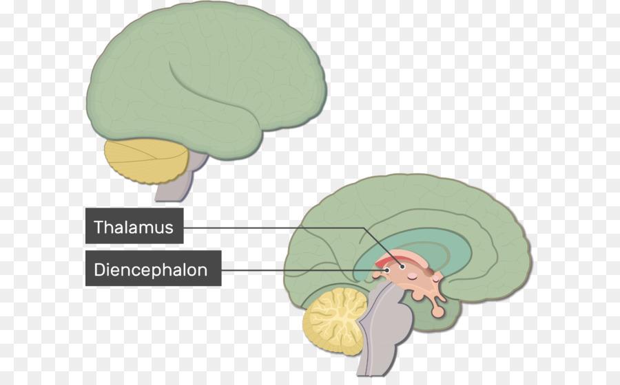 Human brain Anatomy Nervous system Brainstem - Brain function png ...