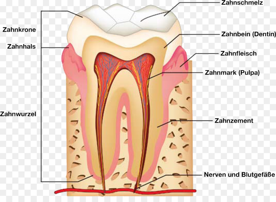 Human tooth Dental anatomy Human anatomy - Tooth Anatomy png ...