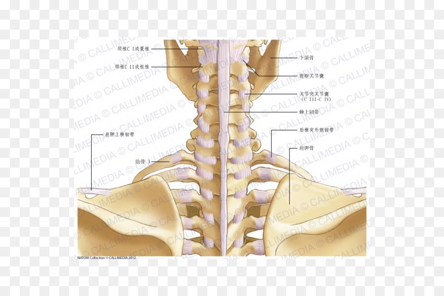 Cadera Cuello de la cápsula de la Articulación de la Anatomía ...