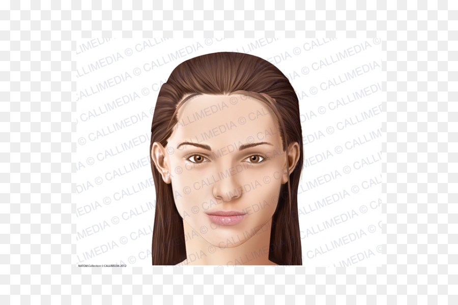 Anatomia y Fisiologia Anatomy Physiology Cheek Head - Face png ...