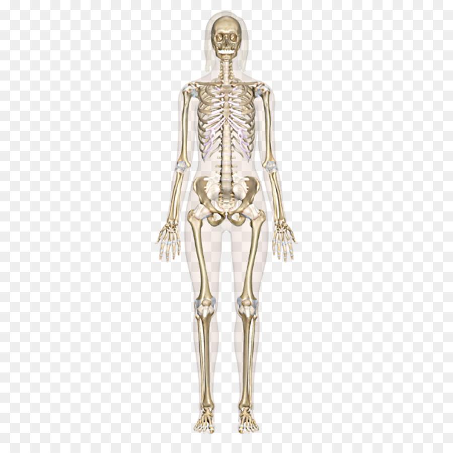 The Skeletal System Human Skeleton Human Body Bone Anatomy Human