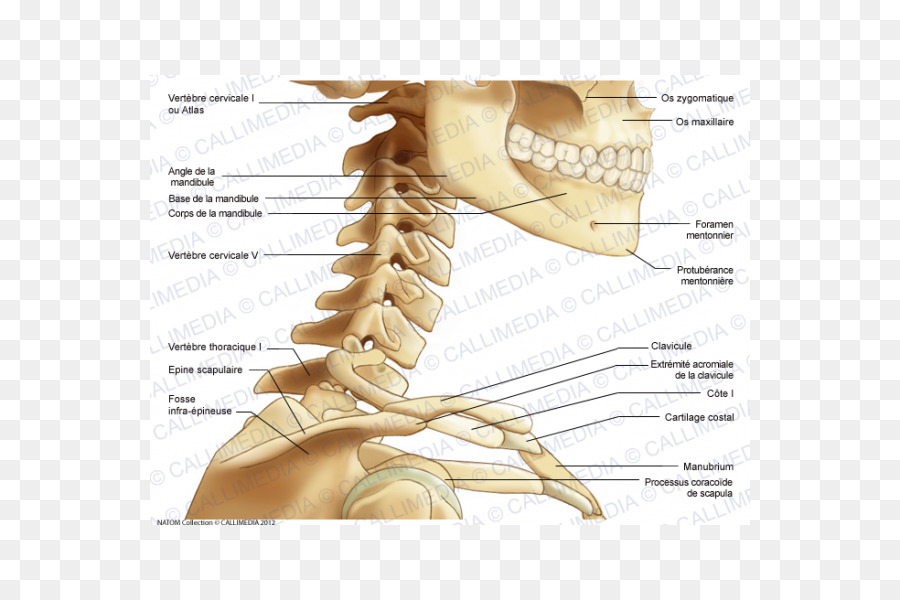 Neck Thumb Bone Human Anatomy Cervical Vertebra Atlas Png Download