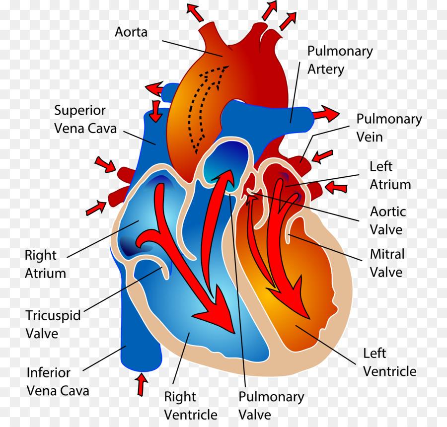 El Sistema Cardiovascular sistema Circulatorio del Corazón Humano ...