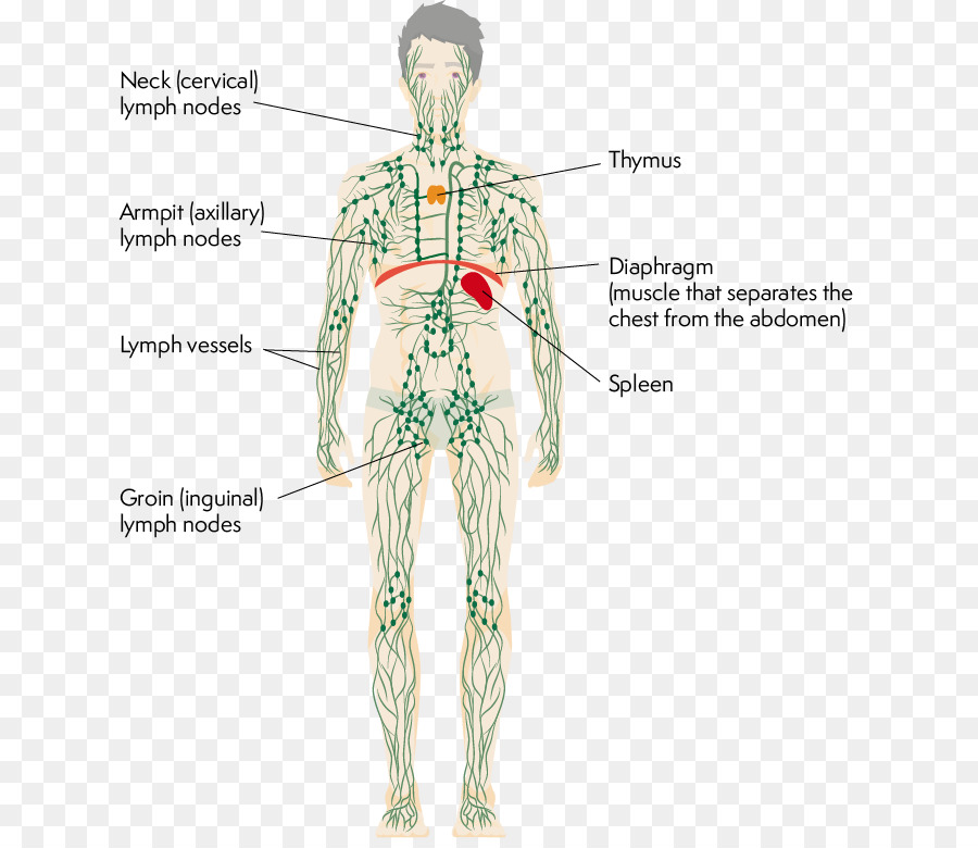 Lymphatic System Human Body Thymus Physiology Axillary Anatomy Png