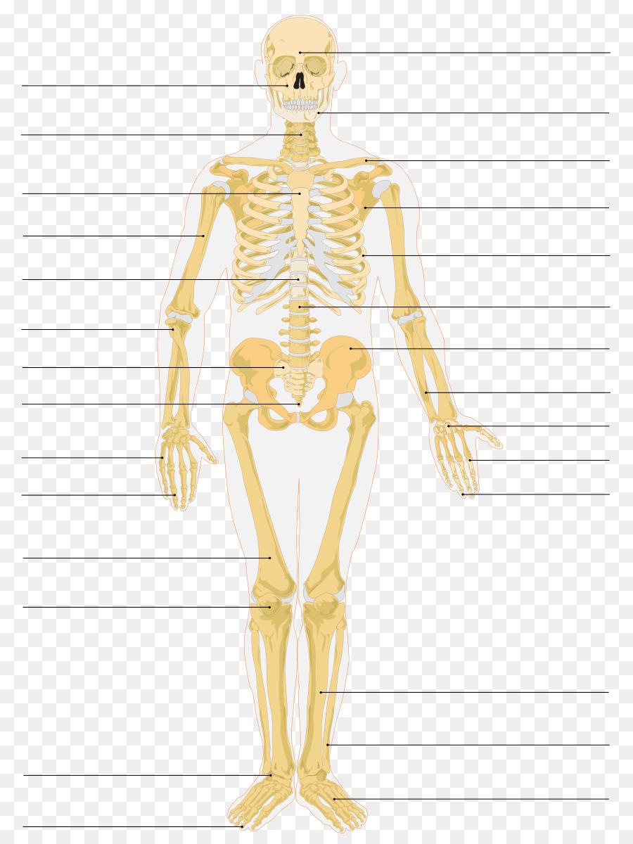 The Skeletal System Human Skeleton Bone Anatomy Skeleton Png