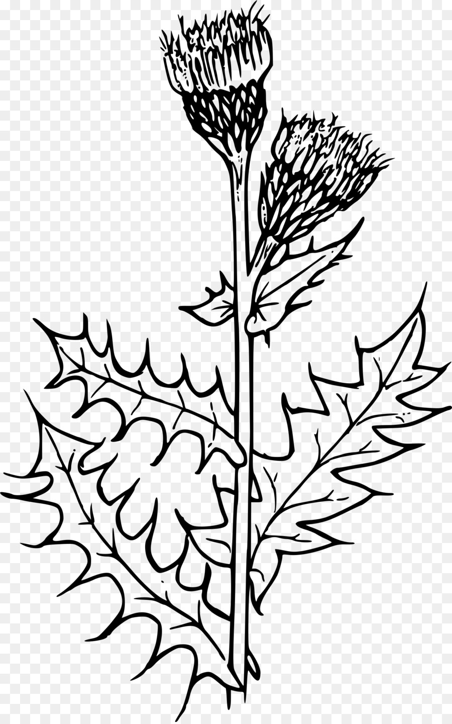 Creeping Thistle Milk Thistle Flower Clip Art Thistle Png Download