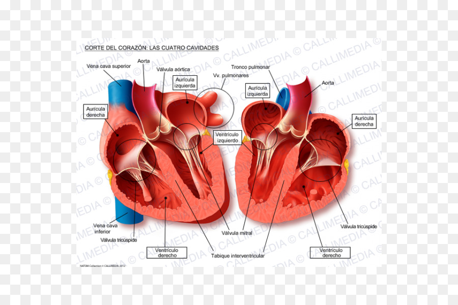 Heart Anatomy Thoracic cavity Physiology Circulatory system - heart ...