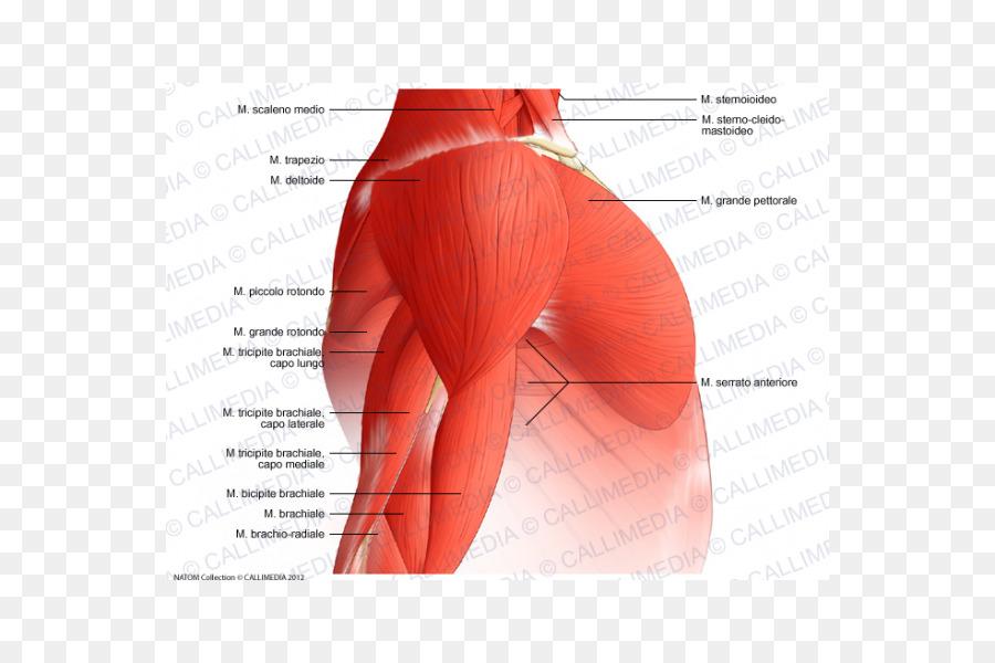 Músculo deltoides del Brazo Nervio del Hombro - brazo png dibujo ...